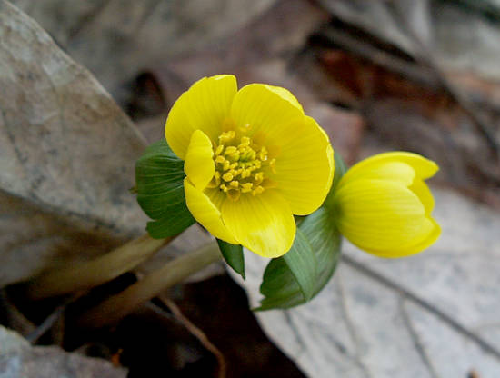 Winter Aconite - Eranthus hyemalis