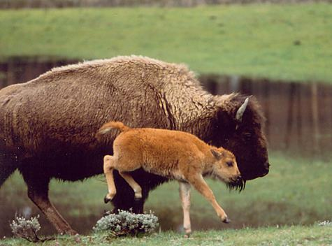 bison and young