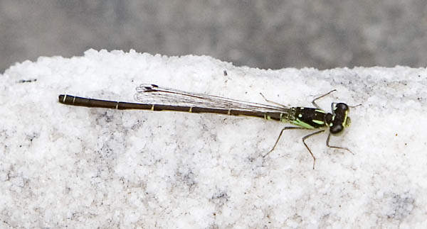 forktail male
