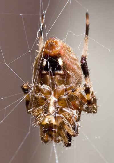 Garden Orb Weaver Araneus diadematus