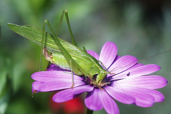 false katydid