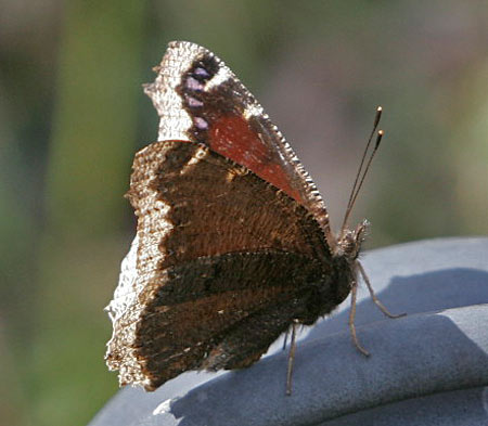 mourningcloak
